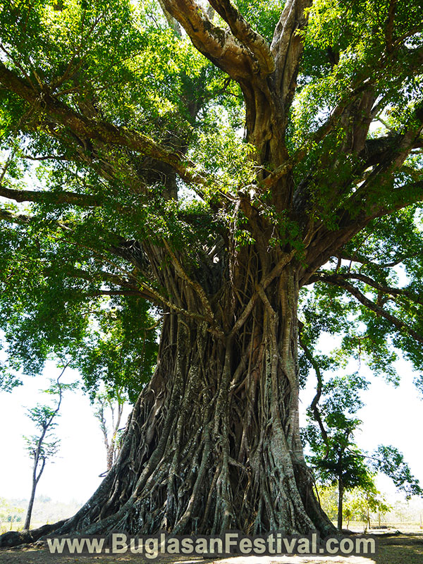 Centuries Old Balete Tree - Canlaon City